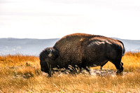 20180912-JAH04227:  Bison are truly magestic and powerful creatures.
