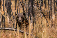 20180912-JAH03915:  A grizzly bear packing in the calories before the Wyoming winter.