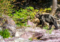 20140830-DSC3456: A juvenile bear hunts for food near McDonald Creek, Glacier National Park, Montana.