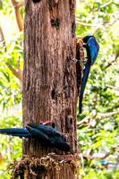 20150118_DSC6555: A couple woodpeckers at the San Diego Zoo, California.