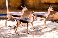 20150118-DSC6668: I believe these are called Oribi.. at the San Diego Zoo, California.