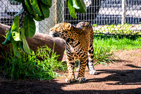 20150118-DSC6746: A handsome jaguar at the San Diego Zoo, California.