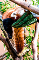 20150118-DSC7014: My all-time favorite animal, the red panda, at the San Diego Zoo, California.